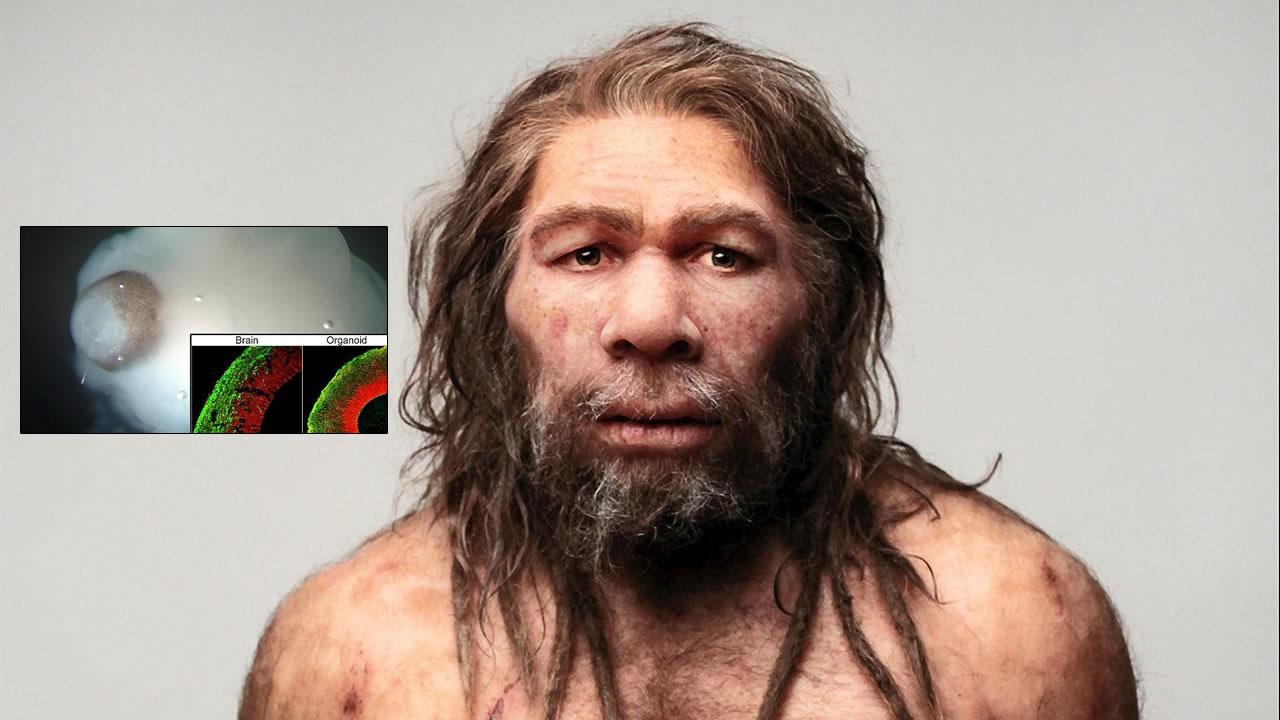 """Investigadores crean """"mini cerebros"""" neandertales alterando un solo gen humano"""